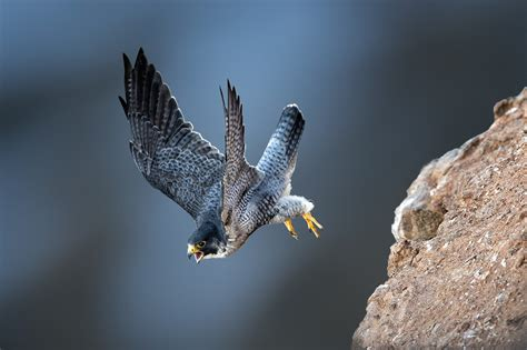 photography, Animals, Birds, Bird of prey, Wildlife HD ...