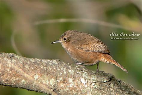 Photos of Wrens / Ratonas   Troglodytidae   Argentina