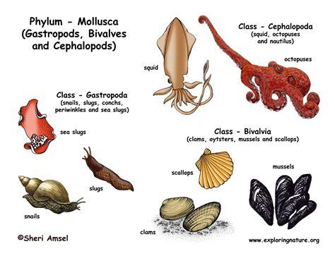 Phylum   Mollusca  Gastropods, Bivalves, Cephalopods