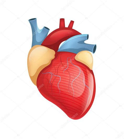 Picture: simple the human heart | Vector human heart ...
