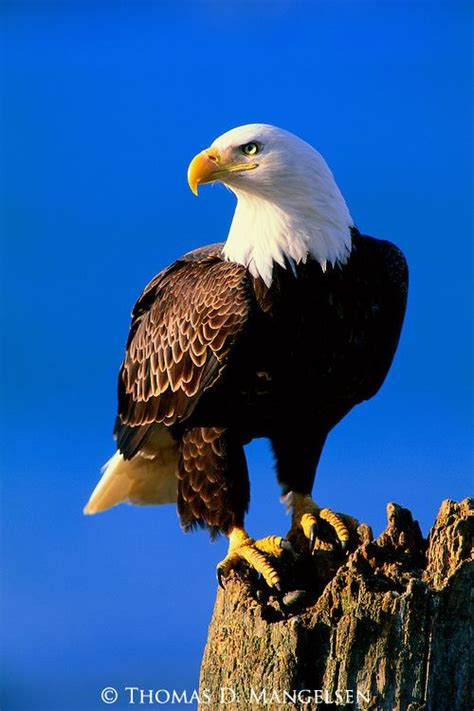 pictures of eagles to print | The Lookout   Bald Eagle ...