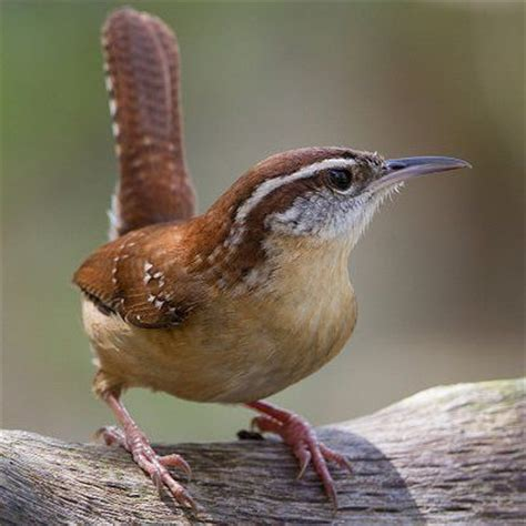 Pictures of State Birds   Complete Photo Gallery | Wren ...