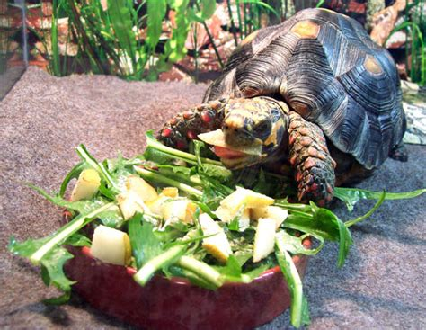 Pictures of Turtles Eating Things/Turtle Appreciation Thread