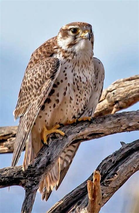 Pin by Kristen Heller on Birds | Raptors bird, Raptor bird ...