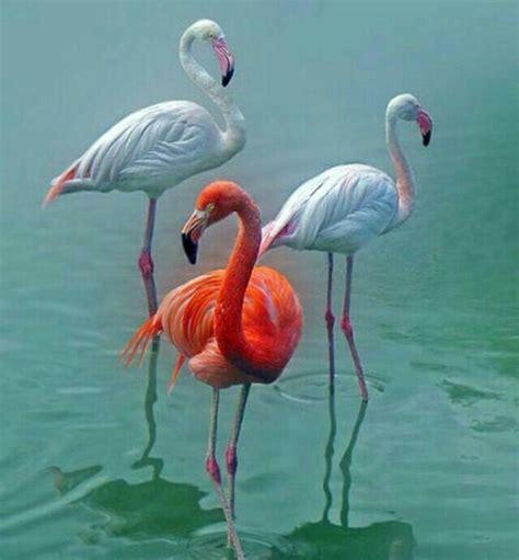 Pin by ڑوژآ بےیلآ on طيور الجنة | Pet birds, Flamingo ...