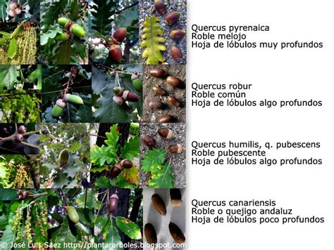 Pin de conyfera en Reconocimiento Especies   Árboles y ...