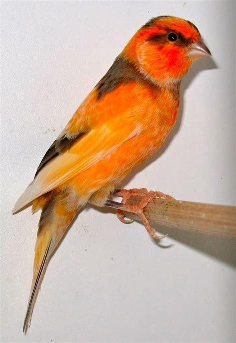 Pin de kiri en canarios   Bordados de aves, Canario ave ...