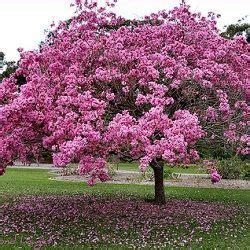 Pink Lapacho Tabebuia Impetiginosa trees as seen at ...