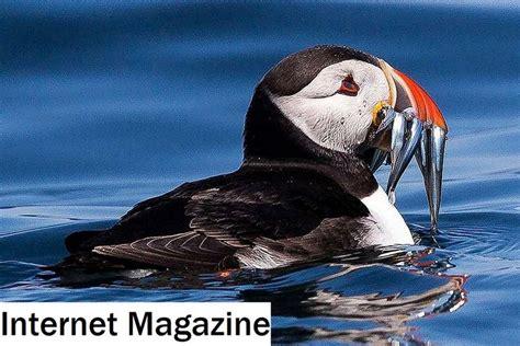 Piscívoras Definición   Piscívoro   Dietas de aves 2020 ...