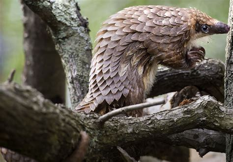 Pittsburgh zoo at forefront of saving endangered pangolins ...