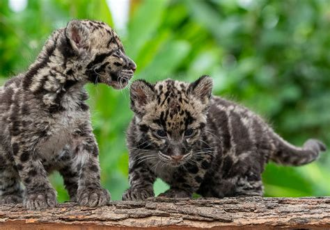 Pittsburgh Zoo names new clouded leopard cubs after ...