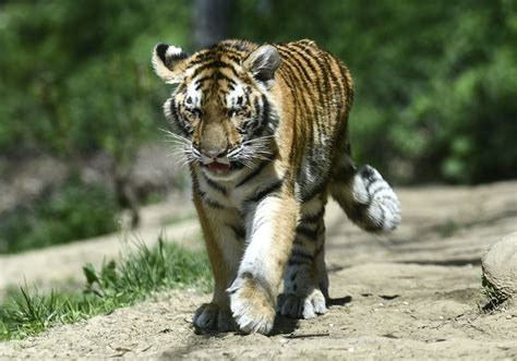 Pittsburgh Zoo s tiger cubs take first steps into a bigger ...