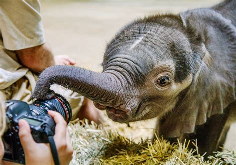 Pittsburgh Zoo takes baby elephant off display for a few ...