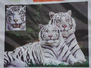 Planeta Selvagem: Casal de tigres siberianos chegam ao zoo ...