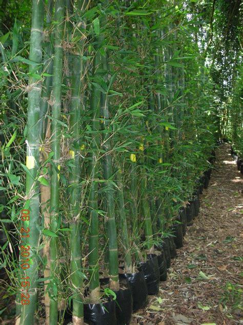 Planta Bambu Oldhamii   $ 40.00 en Mercado Libre