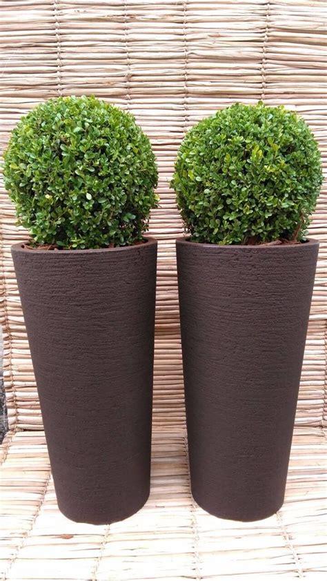 Planta Buxinho Natural Vaso Alto 4 Unids Entrega Sp ...