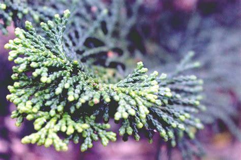 Planta de Ciprés de Arizona. Cupressus Arizonica. 30   40 Cm