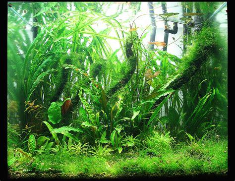 Planta para acuario de agua dulce   Wikipedia, la ...