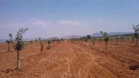 Plantacion de pistachos de 4 años en secano   YouTube