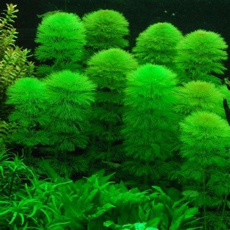 Plantas Acuáticas Para Acuario Limnophila Sessiliflora   S ...