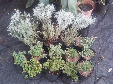Plantas Aromaticas   $ 75,00 en Mercado Libre