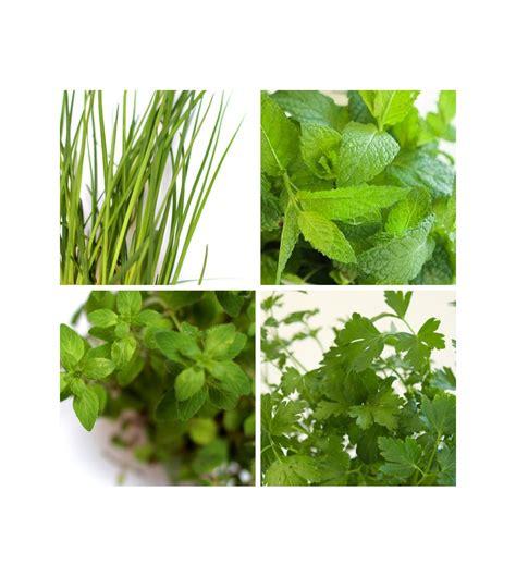 Plantas aromáticas en maceta: menta, perejil, albahaca ...