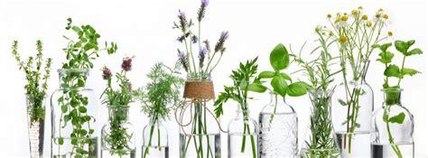 Plantas aromáticas para tu casa y tu cocina   canalHOGAR
