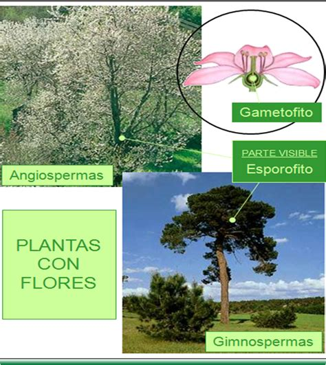 PLANTAS CON FLORES: GIMNOSPERMAS Y ANGIOSPERMAS ~ Con CIENCIA