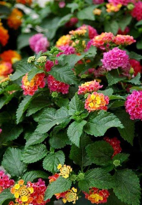 Plantas con Flores: Lantana | Plantas con flores, Flores ...