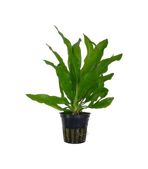 Plantas de acuario Echinodorus major