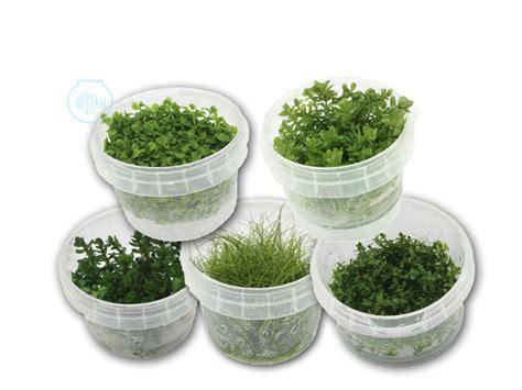 Plantas de acuario in vitro