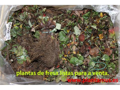 Plantas de fresas a la venta online en Plantamus , envíos ...