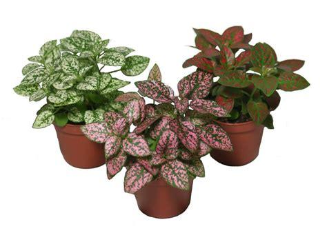 Plantas de interior: Hypoestes phyllostachya Plantas ...