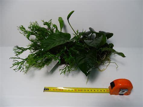 plantas enraizadas en madera para acuario