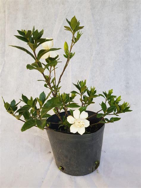 Plantas Jazmin Todo El Año   $ 390,00 en Mercado Libre