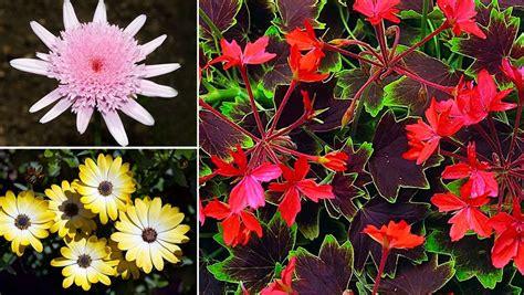 Plantas Perennes Con Flor Para Maceteros Y Contenedores
