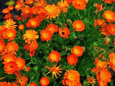 Plantas que repelen plagas e insectos naturalmente ...