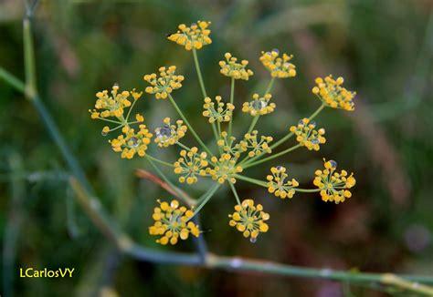 Plantas silvestres de Asturias: Hinojo, cenoyu ...