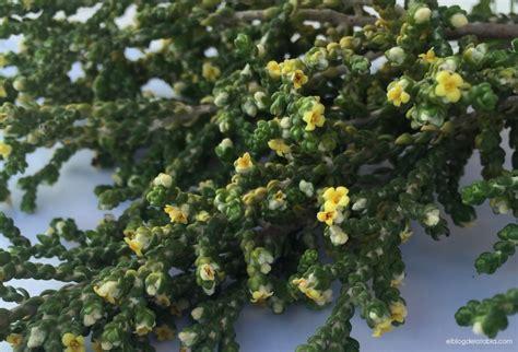Plantas silvestres muy útiles: Thymelaea hirsuta  Bufalaga