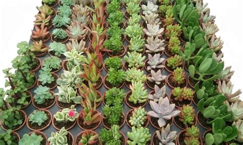 Plantas Suculentas Mini Para Recuerditos 5cms Diámetro ...
