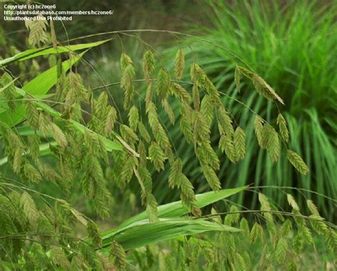 PlantFiles Pictures: Northern Sea Oats, Spangle Grass ...