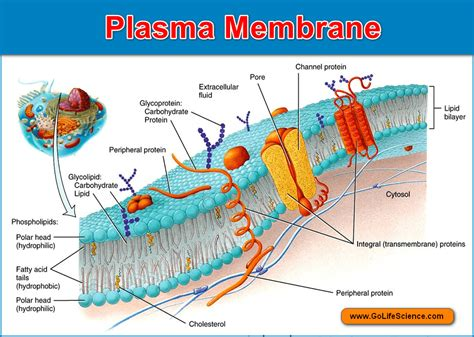 Plasma membrane : Basic structure, composition and Function