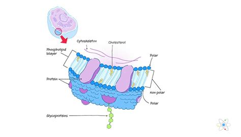 Plasma Membrane: Definition, Structure & Function  with ...