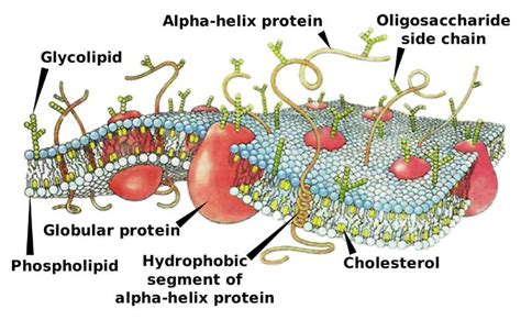 Plasma Membrane Functions | Components & Structures ...