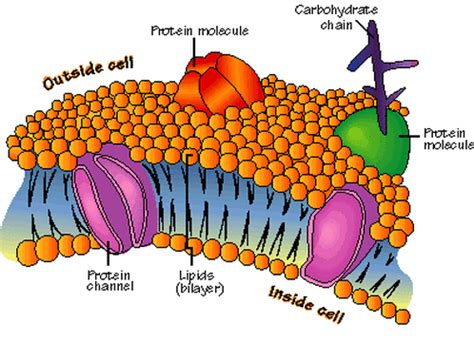 Plasma Membrane   Notes   Biology | Mrs. McComas