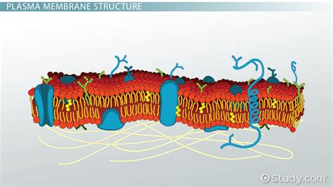 Plasma Membrane of a Cell: Definition, Function ...