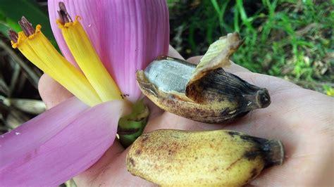 Platanito con semilla, plátano ornamental, platanillo ...