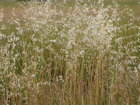 Poaceae / Grass family: Avena fatua / Wild oats: Summer ...