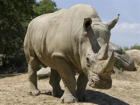 Poachers Killed A Rhino At A Paris Zoo And Stole Its Horn ...