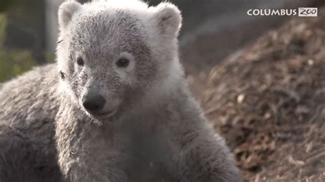 Polar bear cub at the Columbus Zoo learns to swim | WTTE